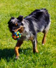 A black and brown dog holding a colorful ball in his mouth