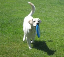 A yellow Labrador retriever holding a blue Frisbee in his mouth