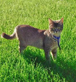 A tan and brown striped cat standing in the grass wearing a blue collar with a bell