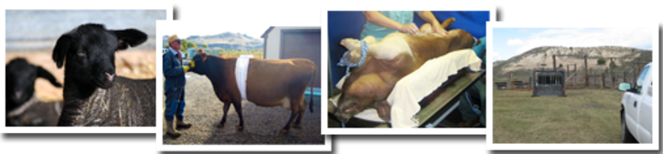 A group photo of four photos of various large animals receiving care
